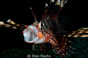 yawning lionfish by Stan Flachs